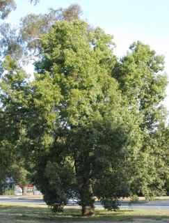 Kurrajong Tree